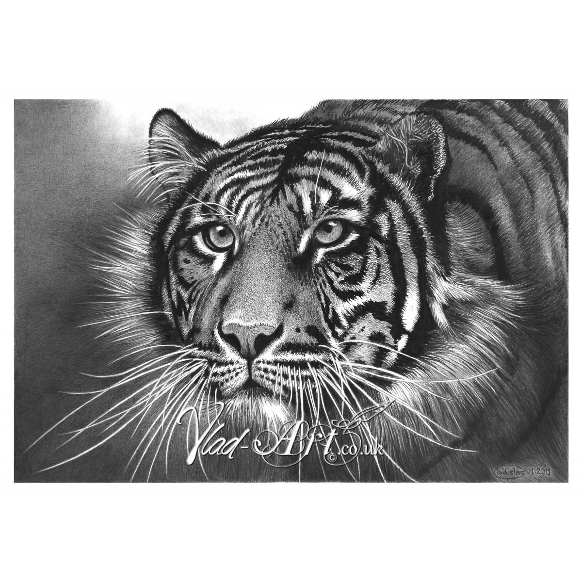 Skulking tiger head pencil drawing by Vlad-Art