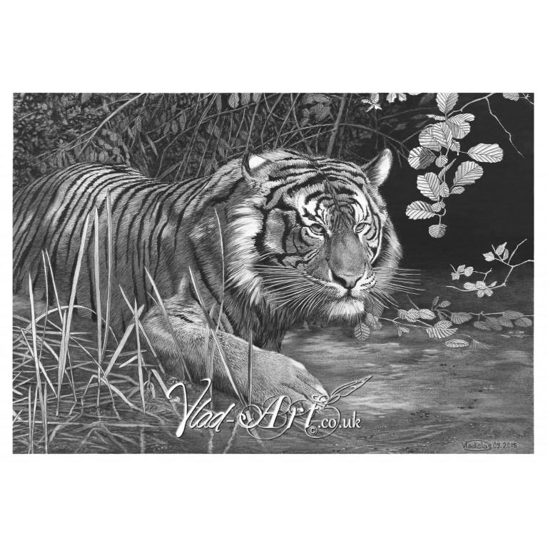 Tiger hunting in swamp